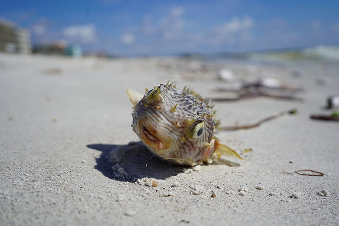 Red Tide Outlook from a Clearwater Native Fishing Captain